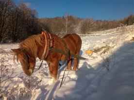 Tažný kůň