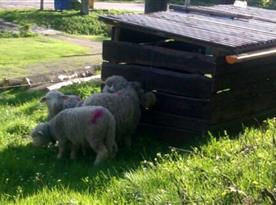 Koutek se stádem oveček