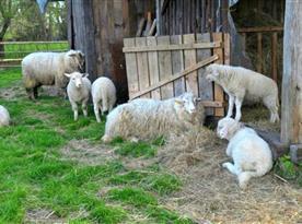 Místní stádo oveček